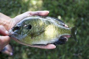 How to Cook Bluegill on the Grill