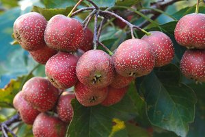 Hawthorn Berry and Weight Loss