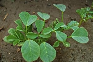 Fenugreek Benefits for Men