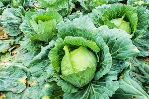 The Calcium Content in Kale and Collard Greens