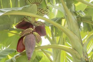 Benefits of Red Bananas