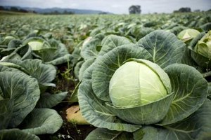 Cabbage Soup Detox Diet