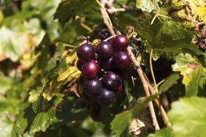 Nutritional Value of Muscadine Juice