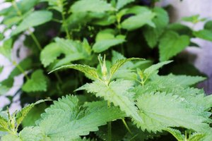 Nutrition of Stinging Nettles