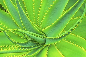 Is Aloe Vera Good for Irritable Bowel Syndrome?
