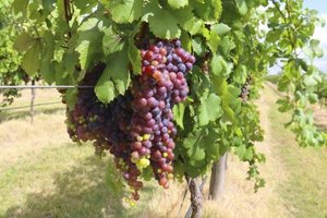 What Is the Nutritional Value of Red Grapes?