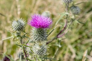Does Milk Thistle Help Skin?