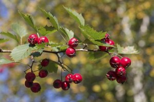 How Does Hawthorn Berry Lower Blood Pressure?