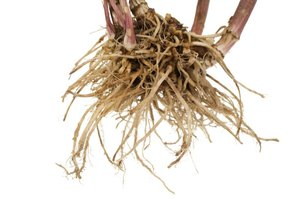 The Signs of Valerian Root Allergies