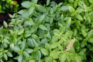 Benefit of Tulsi for Hormone Imbalance