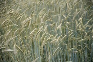 The Difference Between Wheat Free & Gluten Free