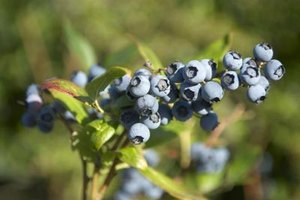 What Are the Benefits of Bilberry?