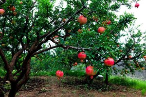 Growing Requirements for Pomegranate Trees