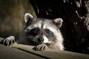 Diseases That Raccoons Can Spread to Humans