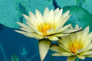 Are There Dangers of Lotus Tea?
