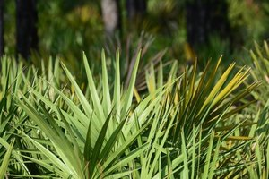 Can You Use Both Minoxidil & Saw Palmetto for Hair Loss…