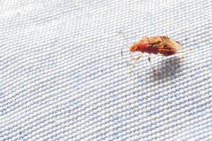 How Fast Can Bed Bugs Spread?