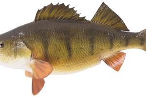 How to Cook White Perch