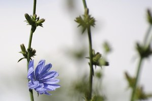 What Is Chicory Root?