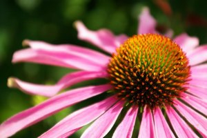 How to Dry Echinacea for Tea
