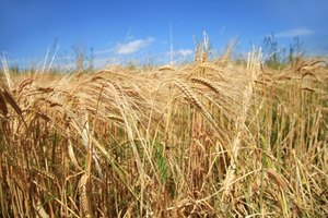 Substitutes for Vital Wheat Gluten
