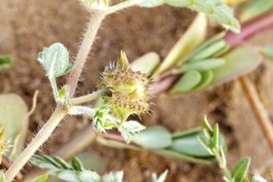 The Benefits of Tribulus Terrestris