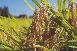 What Are the Health Benefits of Sorghum?