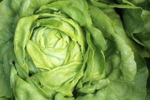 The Nutrition in Bibb Lettuce
