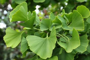 The Side Effects of Ginkgo Biloba for Migraines & Heada…