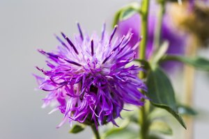 Does Milk Thistle Cleanse a Fatty Liver?