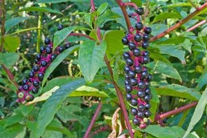 Side Effects of Phytolacca Berry