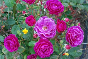 Uses of Rose Oil