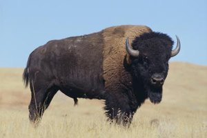 Is Buffalo Meat Healthy?