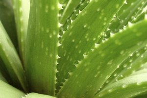 How to Use a Fresh Aloe Vera Gel Plant