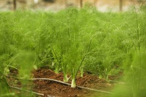 Can Fennel and Fenugreek Herbs Be Toxic?