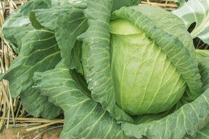 Cabbage and Heartburn