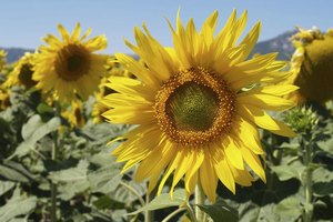 Nutritional Facts of David Sunflower Seeds