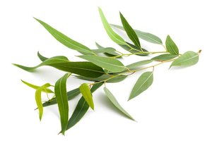 Eucalyptus Oil for Controlling Allergies