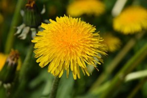 Dandelion Root to Remove Toxins