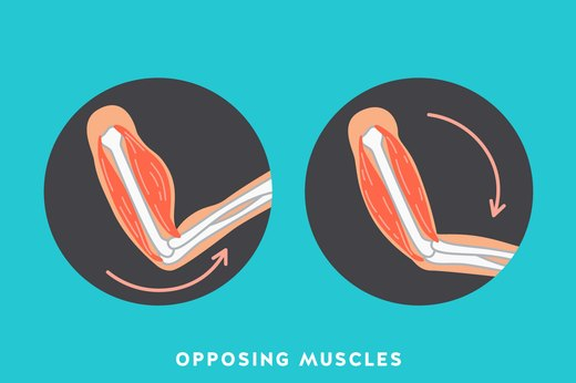 10. Opposing Muscles