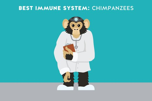 4. Best Immune System: Chimpanzees