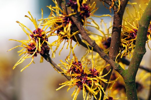 8. Witch Hazel