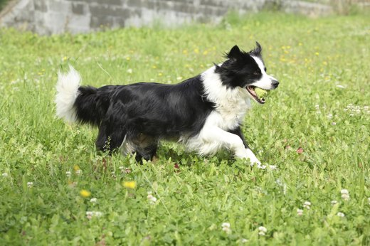 10. Border Collie
