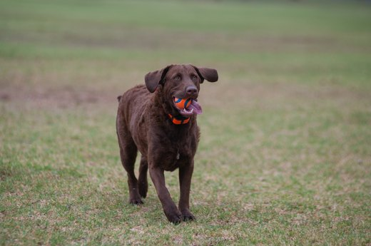15. Chesapeake Bay Retriever