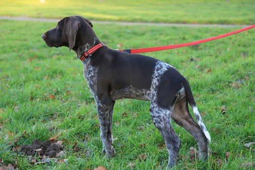 6. German Shorthaired Pointer