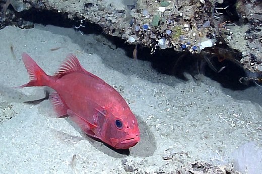 3. Orange Roughy
