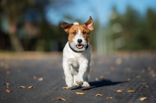 12. Jack Russell Terrier