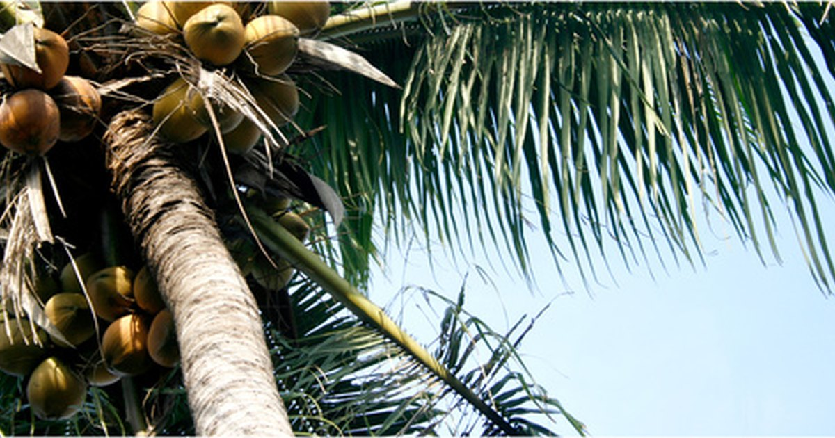 Uses of the coconut tree essay modle
