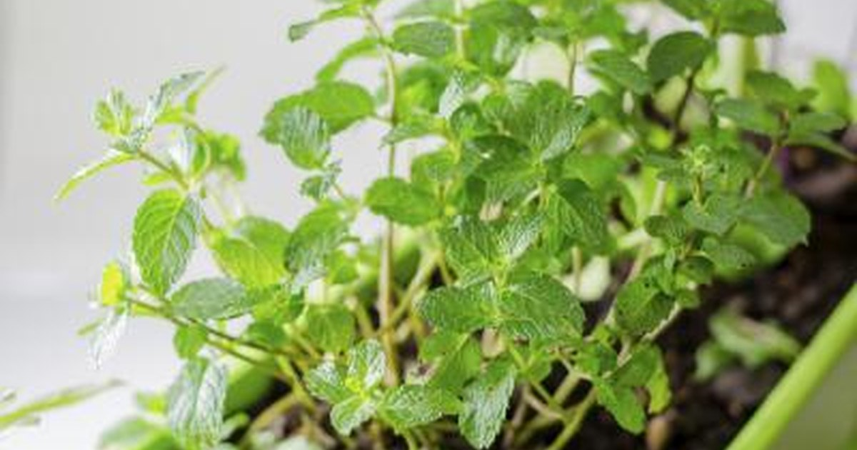 We value your privacy  What Are the Benefits of Eating Whole Mint Leaves?