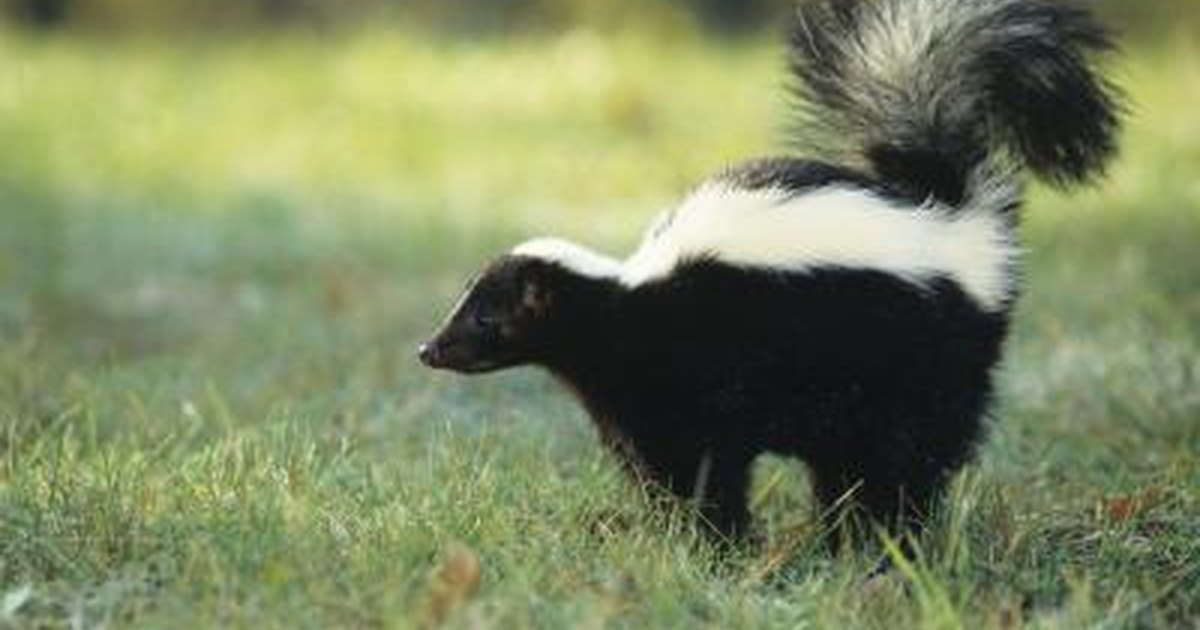 How To Get Rid Of Skunk Smell On Humans Livestrong Com